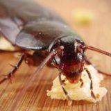 Тараканы в доме: чем опасно, как лучше с ними бороться